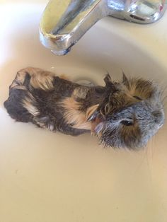 The water weight loss program for guinea pigs. Step obtain piggy. add water to piggy All Animals Photos, Animals Of The World, Animal Pictures, Pig Pics, Baby Animals, Cute Animals, Guniea Pig, Funny Mouse, Capybara