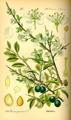 Prunus spinosa / Otto Wilhelm Thomé, Flora von Deutschland Österreich und der Schweiz (1885) fr.Prunellier