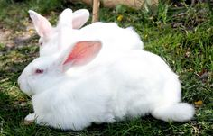 New publication from ATTRA: Small-Scale Sustainable Rabbit Production. This publication provides an introduction to small-scale rabbit production, focusing on meat rabbits and sustainable rabbit management.
