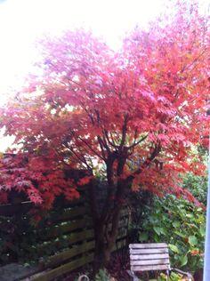 Japanse esdoorn in de herfst