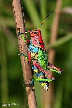 cool bugs as a theme Painted Grasshopper, Dactylotum bicolor. Also known as the Rainbow Grasshopper. Nature is AWEsome! Beautiful Creatures, Animals Beautiful, Cute Animals, Colorful Animals, Cool Bugs, A Bug's Life, Beautiful Bugs, Beautiful Pictures, Amazing Photos