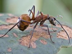 A fish-hook ant spotted in Cambodia in 2007: These ants live in large numbers in nests in dead tree trunks - their curved spines can easily slice through skin and tend to hold on for a while