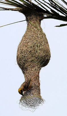 SHAPE! A Baya weaver (Ploceus philippinus) builds a nest in a betelnut tree on the outskirts of Guwahati city, north-east India. Weavers are known for their elaborately woven nests, which are built by the males.