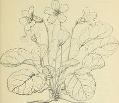 """Descriptive catalogue and price-list of native plants of the southern Alleghany Mountains including deciduous and evergreen trees, flowering shrubs, hardy herbaceous perennials, vines, orchids, ferns, (20688078060) - Search results for """"perennial illustration"""" - Wikimedia Commons"""