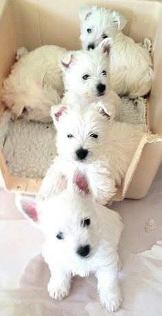 Westie puppies line up....via So Doggone Funny