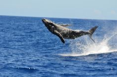 #Maui, #Hawaii is one of North America's Best Whale-Watching Spots. Photo by editorial assistant Nate Storey.