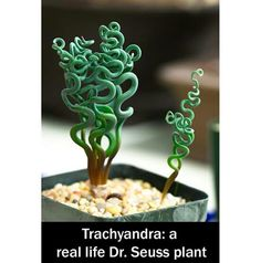 Trachyandra plant. I want one! But i have cats. Can't have both.