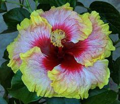Simple Pleasures Tropical Hibiscus Plant in 4 5 Pot Tropical Flowers, Light Pink Flowers, Hibiscus Flowers, Exotic Flowers, Tropical Plants, Pretty Flowers, Hibiscus Bush, Big Plants, Unique Plants