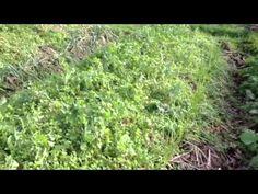 Le jardin d'Emilia Hazelip - YouTube