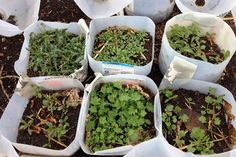Winter sowing is an easy seed starting method: No lights, no cell packs or peat pellets. It takes its cues from Mother Nature, and saves the gardener a lot of effort in the process.