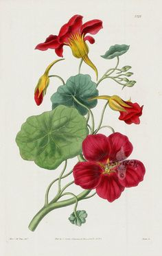 Flower Drawing Tropaeolum majus atro-sanguineum Greater Indian Cress or Nasturtium from William Curtis Best Prints Vintage Botanical Prints, Botanical Drawings, Vintage Botanical Illustration, Botanical Flowers, Botanical Art, Watercolor Flowers, Watercolor Art, Illustration Botanique, Plant Drawing