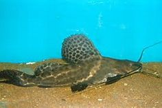 Pictus Catfish – Are you aware of what pictus catfish really is? Well, a pictus catfish is a small type of catfish that is most commonly found in Peru, Venezuela, Colombia and Brazil. This is also known as Pimelodus pictus in some areas of the Amazon River and Orinico.
