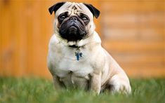 Dogs are the most favorite pets in the world. There are so many people are assume that dogs are part of their family. Not surprisingly that sometimes people sleep with the dog and do most of Cute Dogs Breeds, Dog Breeds, Dog Smells, Cute Pugs, Dog Daycare, Pug Love, Dog Photos, Best Dogs, Dog Lovers