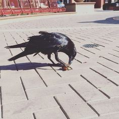 This crow was hurt today and was just chillen with people. I got all Kardashian film crew on him and started filmin him eating some fruit! #iamdavidvo #crow #video #cool #instamood #instagood #like...