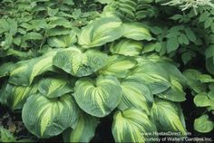 "Hosta Hollywood Lights; large, 23"" tall, sun resistant, not slug resistant."