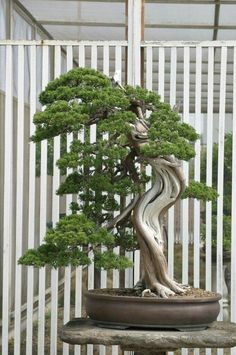 Somehow the bonsai and the background design blends well Indoor Bonsai, Bonsai Plants, Bonsai Garden, Indoor Plants, Bonsai Trees, Ikebana, Bonsai Tree Types, Juniper Bonsai, Tree Base