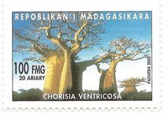 chorisia ventricosa 100 fmg