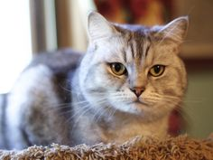 Available for adoption - Bandit is a male cat, Domestic Short Hair, located at All Cats Rescue in Sioux Falls, SD.