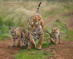 African Tigress Ussuri walking with her three cubs after drinking some water at Tiger Canyons, South Africa. by Alex Kirichko