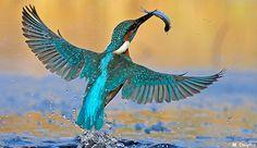 NABU | Vogel des Jahres | 2009: Der Eisvogel