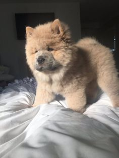 be aware of cuteness Cute Baby Animals, Animals And Pets, Funny Animals, Cute Puppies, Cute Dogs, Dogs And Puppies, Doggies, Perros Chow Chow, Chow Chow Dogs