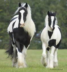 To showcase the beautiful new breed of the Gypsy Vanner, and to help further the understanding of them and the Gypsies who love them. All The Pretty Horses, Beautiful Horses, Animals Beautiful, Majestic Horse, Majestic Animals, Horse Pictures, Animal Pictures, Cheval Pie, Animals And Pets