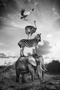 From the series 'Hakuna Matata' by Thomas Subtil...  The strange life of animals in Kenya! ☚