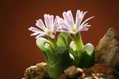 Resultado de imagem para Conophytum herreanthus
