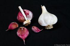 Organic Seed Garlic for Sale by Filaree Garlic Farm