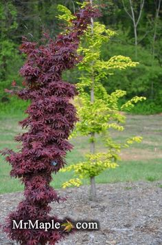 Rare Narrow Red Acer palmatum 'Twombly's Red Sentinel' Japanese Maple 1 gallon #Acerpalmatum