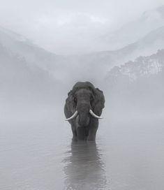 Elefant in the fog . Image Elephant, Elephant Love, Elephant Images, Elephants Photos, Save The Elephants, Baby Elephants, Nature Animals, Animals And Pets, Cute Animals