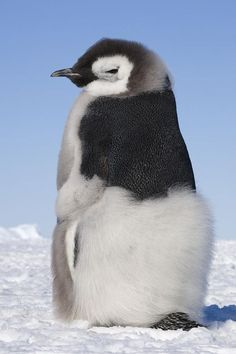 Emperor Penguin chick almost grown.: