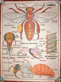 Vintage  Anatomy French school poster L'ABEILLE  par lojaVintage, €96,80