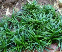 Ophiopogon japonicus - Bert Cuijpers