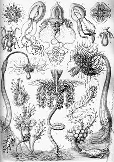 Haeckel_Tubulariae-0004.jpg (763×1079)