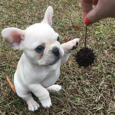 "French Bulldog Fan Page on Instagram: ""@frenchminniepearl #frenchiepuppy #littledog #frenchbulldog #frenchy #babypuppy #frenchie #frenchies1 #frenchbulldogpuppy #dogsarefamily"""