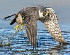 Peregrine Falcon at the seashore in the Pacific Northwest US