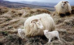 Sheep in North Iceland, Snorri Gunnarsson