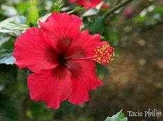 Hibiscus rosa-sinensis, Graxa-de-estudante, Hibisco-da-china, Hibisco-tropical, Mimo-de-vênus