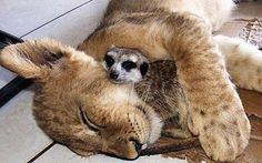 ANIMAL FRIENDSHIPS: #9 Lion and Meerkat