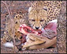 Poor consumed animal , or whats left from it , obviously its consumed by the leopard ( tertiary )