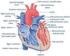 Heart transplant learn about guidelines and surgery lvad and vertical cross section of heart ccuart Choice Image