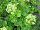 Alexanders - Other Culinary Herbs - Culinary - Herbs - Kings Seeds (NZ) Ltd