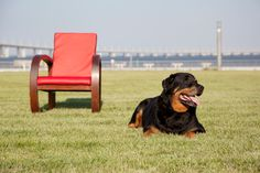 Some of the things I like about the Calm Rottweiler Dogs - Rottweiler - Hunde Best Dog Food, Best Dogs, German Dog Breeds, Rottweiler Puppies, Rottweiler Facts, Dog Pee, Best Dog Training, Aggressive Dog, Puppy Face