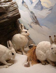 || Alpine Rabbits diorama, Naturhistorisches Museum in Bern, Switzerland