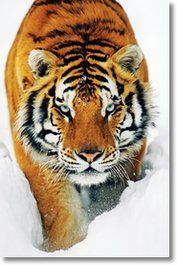 #Cats #Cute #Poster - See more and buy at http://www.gbposters.com/photography/animals/cat_posters