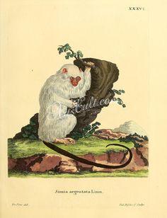 Silvery marmoset      ...