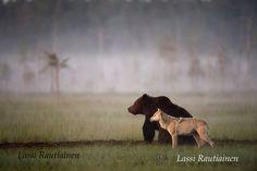 Karhu ja susi. ***  Palkittu kainuulainen luontokuvaaja ja karhusafariyrittäjä Lassi Rautiainen näyttää ihmisille palasia luonnosta, joita ihmiset eivät välttämättä pääsisi muuten näkemään. #valokuvaaja #luonto #Suomi .