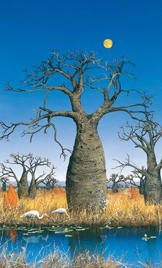This is one of my favourite prints my mum bought us, I love boab trees - Brolgas and the Boab Trees by Ingrid Windram Landscape Art, Landscape Paintings, Landscapes, Ousmane Sow, Australian Photography, Aerial Photography, Baobab Tree, Australian Artists, Australian Icons