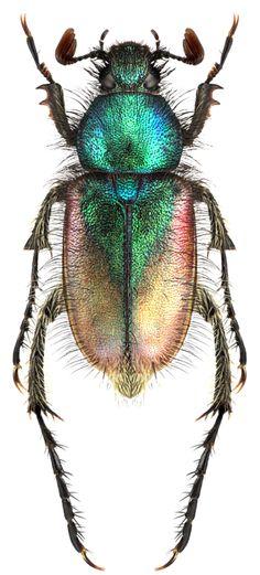Amphicoma graeca   Glaphyridae